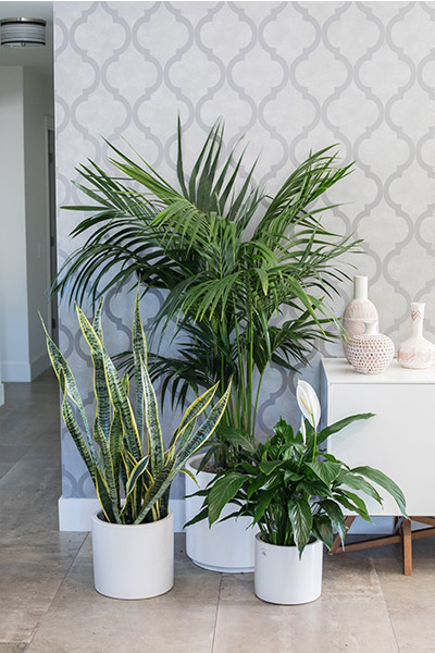 An image of three other planted indoor plants in white pots