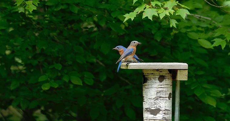 An image of a bluebird and a wren
