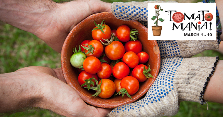 An image of small ripe red cherry tomatoes for Tomato Mania
