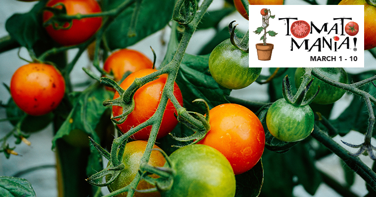 An image of a tomato plant with ripe and not ripe tomatoes for Tomato Mania