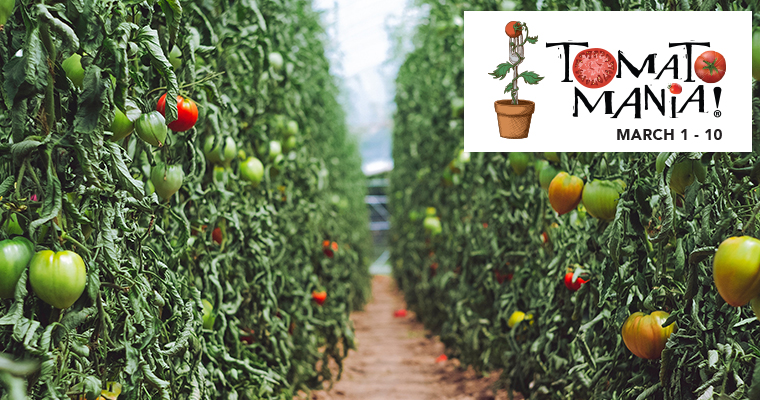 An image of multiple tomato plants growing down two lines with the Tomato Mania Logo on the right corner