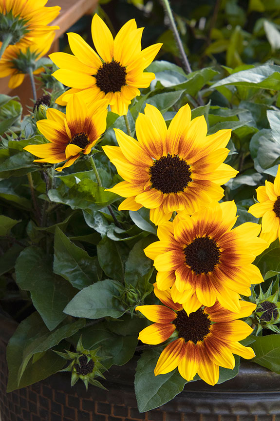 An image of a close up yellow and red sunbelievable sunflower