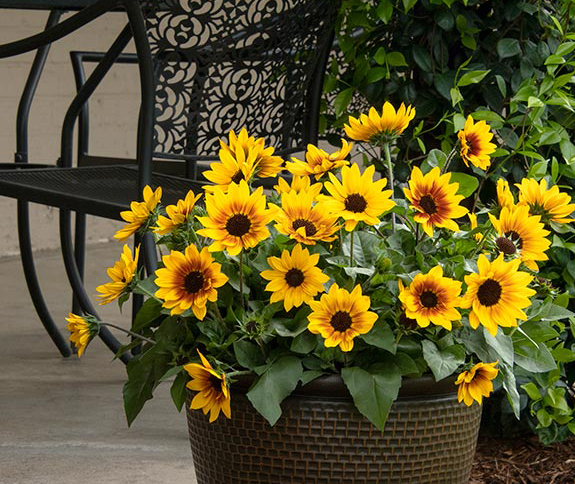 An image of yellow sunbelievable sunflowers
