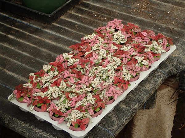 Pink Red and White Leaf Plant Growers San Diego