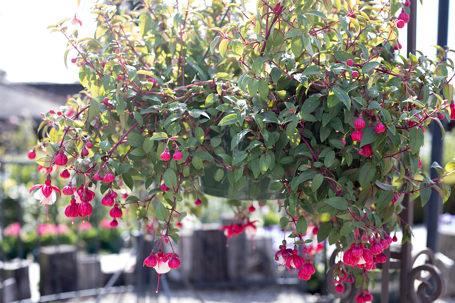 An image of pink Fuchsia in hanging baskets