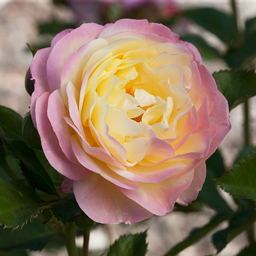 An image of pink and yellow Huntington Hundredth Rose