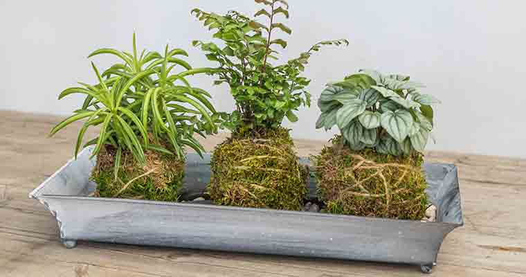 Kokedama Moss Rope Wrapped Foliage Collection for Workshop