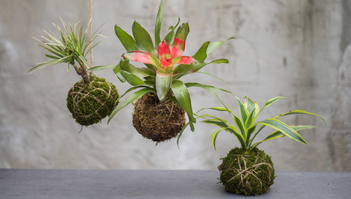 An image of three Kokedama moss balls and one for workshop