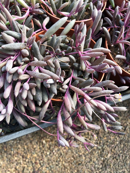 An Image of A Purple Plant of Plant Buying Trip