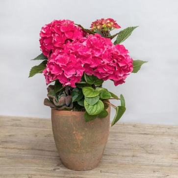 pink hydrangea in large clay pot