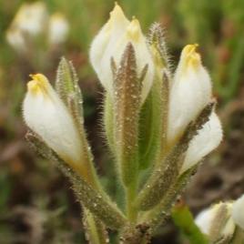 Endangered Plant of Upper Newport Bay