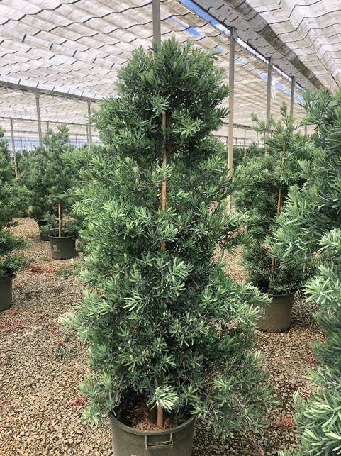 An image of a green podocarpus ICEE Blue