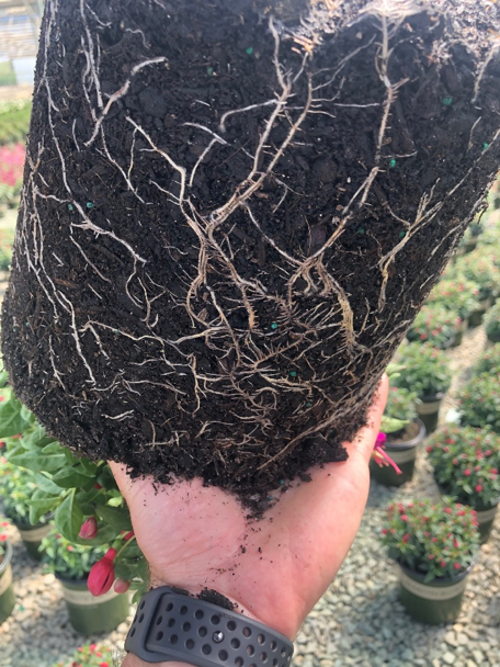 An image of a Fuchsia root stock in soil
