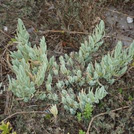 An Endangered Plant
