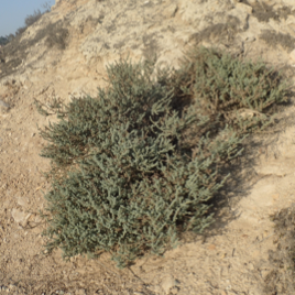 A rare threatened plant of Upper Newport Back Bay