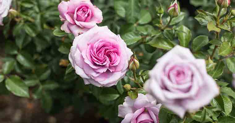 An image of a bright pink rose for learning how to grow roses more successful seminar