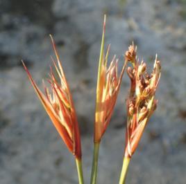 An Endangered Plant of Upper Newport Bay