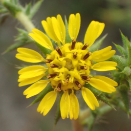 An image of an endangered yellow flower found in the Upper Newport Bay