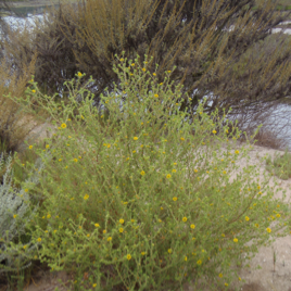 An image of a rare, threatened and endangered bush found in Upper Newport Bay