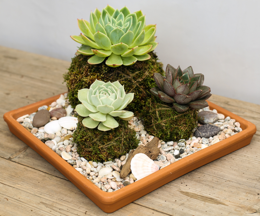 "An image of the two 6"" succulents, 4"" succulents, coastal sunset shell pebble, decorative accents rocks, piece of real driftwood, shells and the moss, rope soil mixture arranged in a terra cotta tray for the Kokedama Beachy workshop"