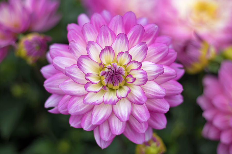 A picture of a pink Dahlia Flower