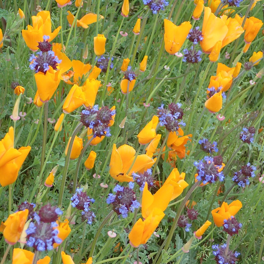 Yellow Flowers for Nature Gardening Series