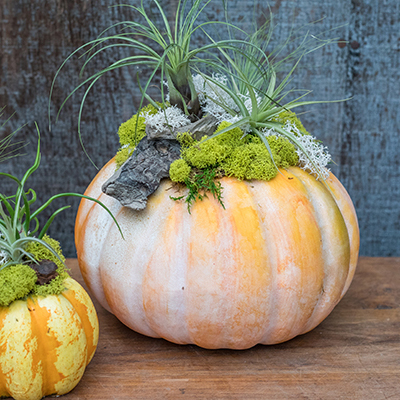 Tillandsia Pumpkin Workshop