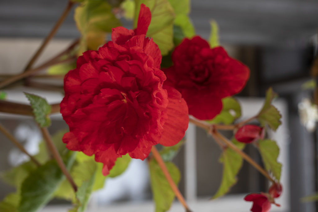 An image of a red tuberous begonia