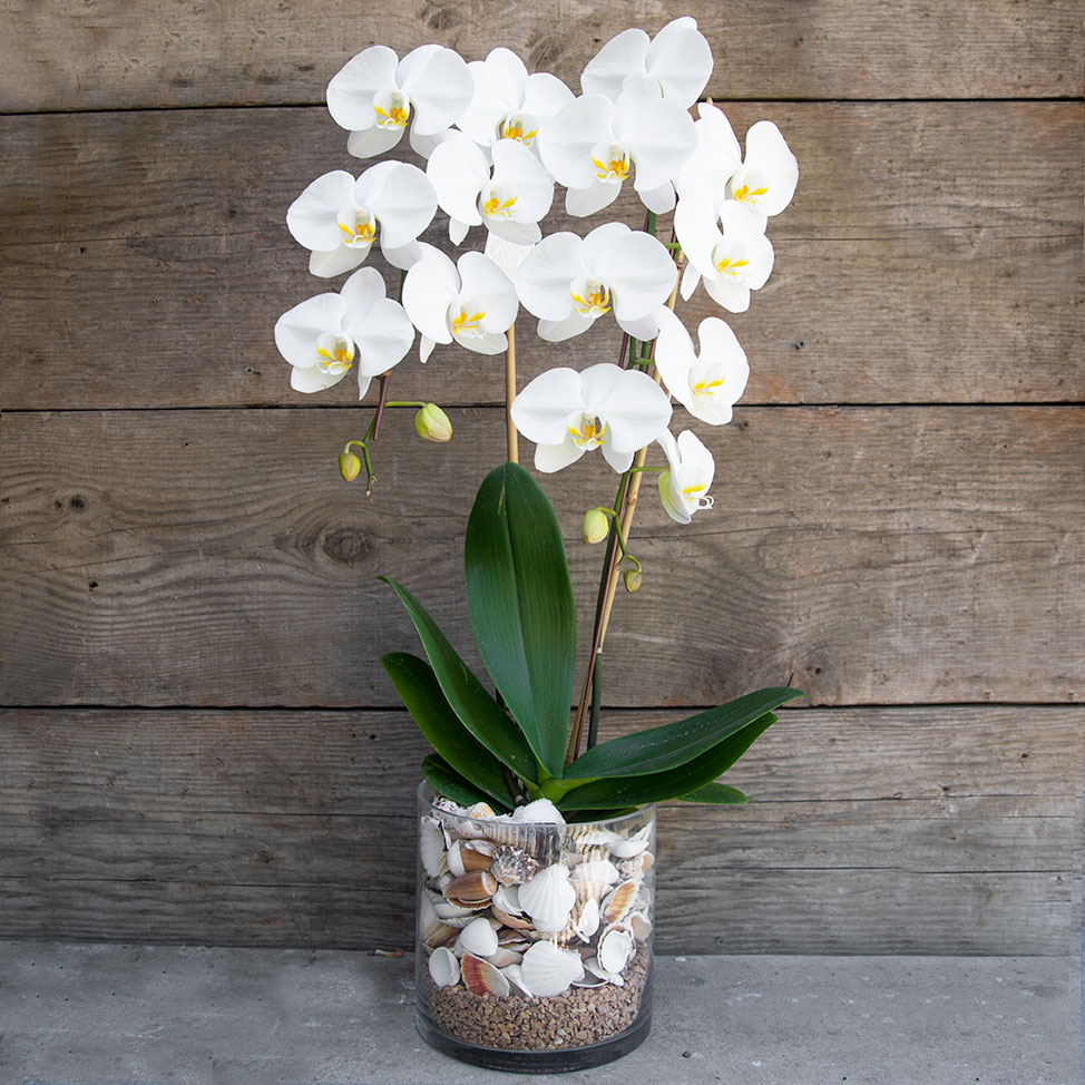 White Orchids in Shell Vase