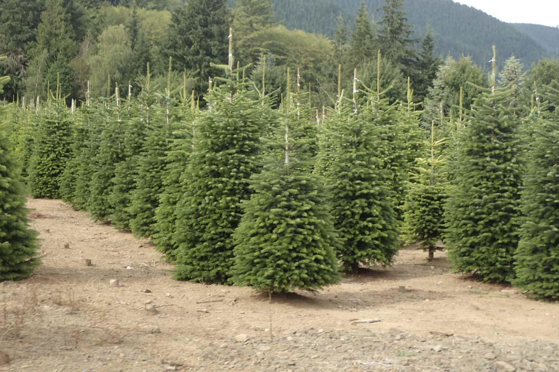 Rows of fresh Christmas trees