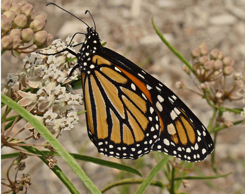Milkweeds for Monarchs